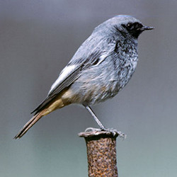 Phoenicurus ochruros [black redstart] by Craig Churchill